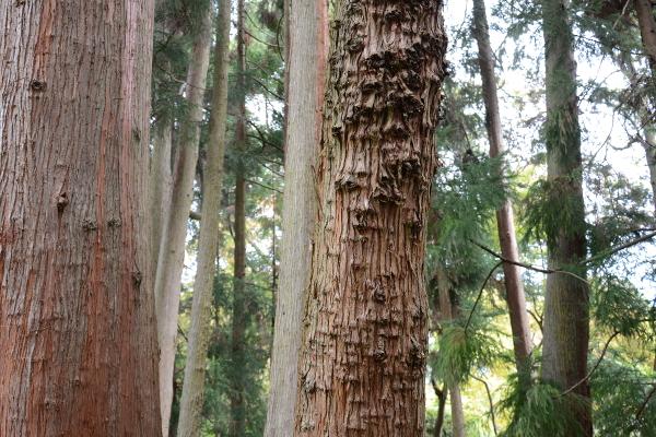 trees at the japanese tea garden