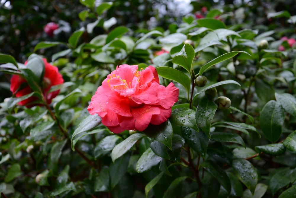 camellia flower longwood gardens