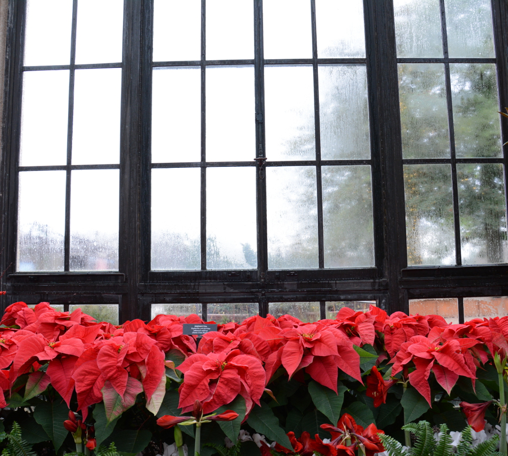 Poinsettias line a window at Longwood Gardens during A Longwood Christmas.