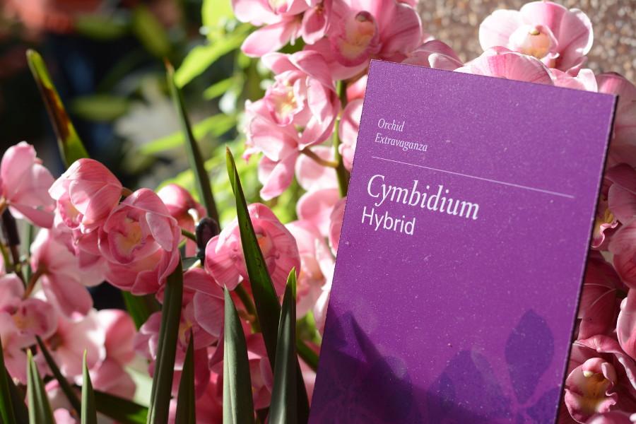 cymbidium hybrid orchids