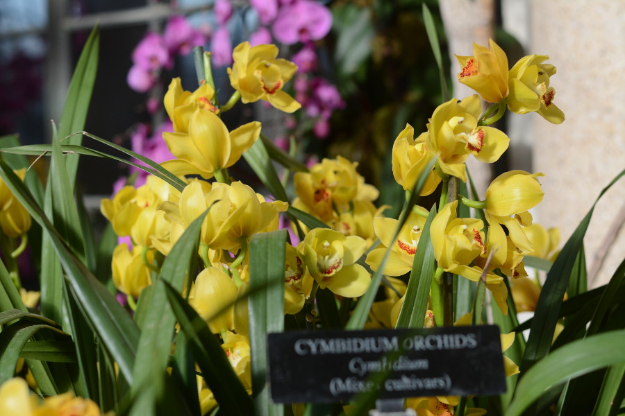 cymbidium orchids. Orchid Extravaganza at Longwood Gardens.