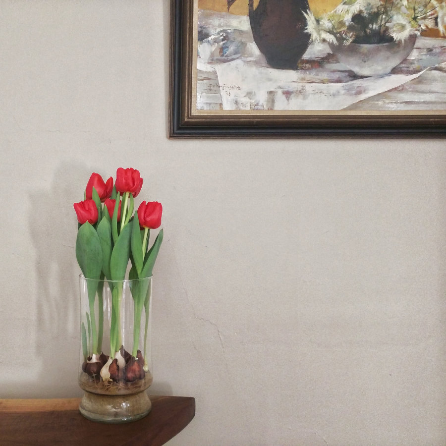 hydroponic tulips