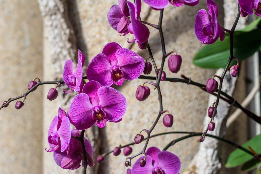 Cascading orchids at Longwood Gardens' Orchid Extravaganza in Kennett Square, Pennsylvania.
