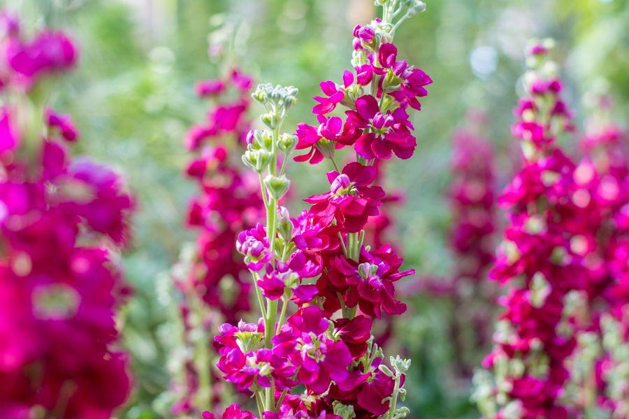 Purple flowers at Longwood Gardens in Kennett Square, Pennsylvania.