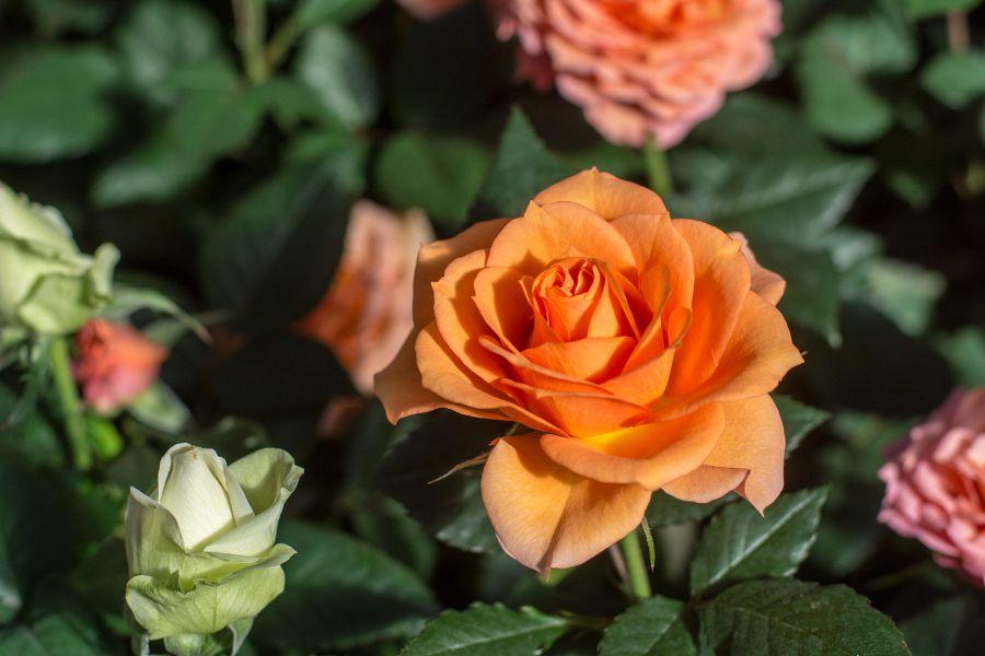 Roses at Longwood Gardens in Kennett Square, Pennsylvania.