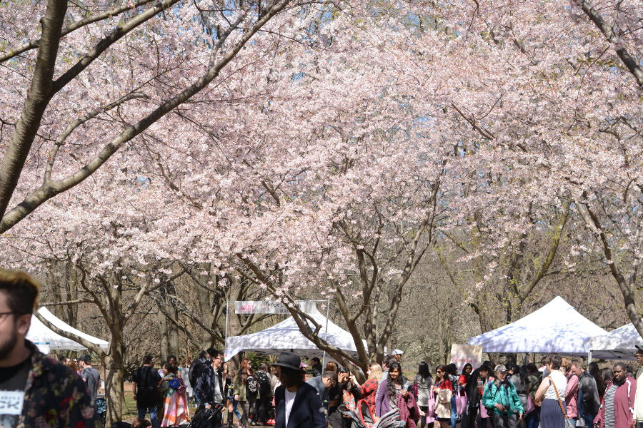 Every year, people gather in Philadelphia's Shofuso in Fairmount Park for Sakura Sunday to celebrate Japanese culture and picnic under the cherry blossoms!