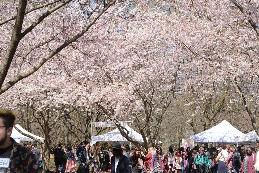 The Subaru Cherry Blossom Festival Sakura Sunday takes place each spring in Fairmount Park in Philadelphia.
