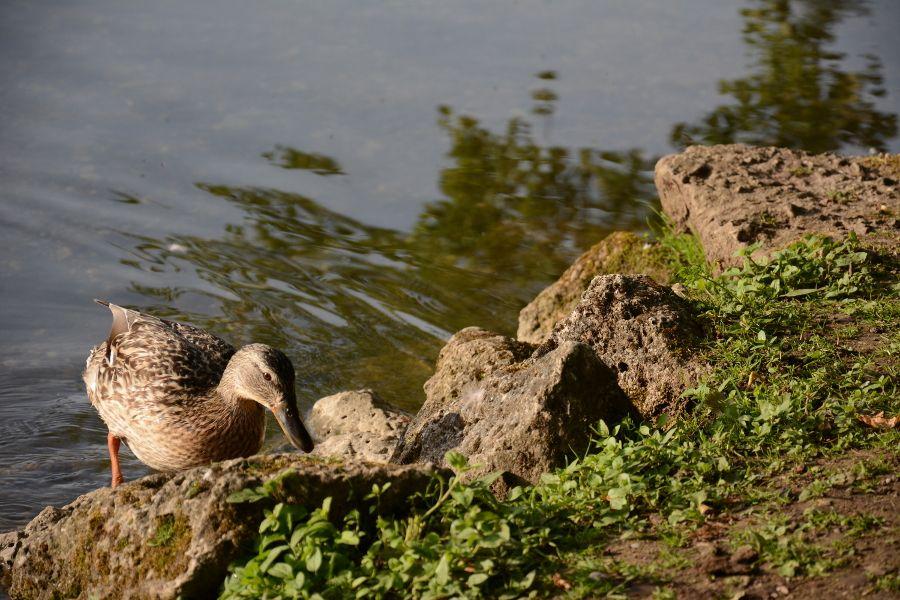 Duck at Badenburg Lake in Munich, Germany.