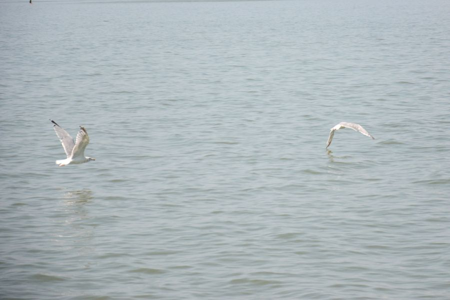 Seagulls flying over the Chesapeake Bay.