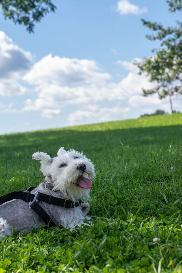 George, the mini schnauzer, enjoys a rest at Valley Forge.