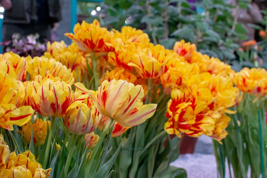 Vivid yellow tulips in competition at the Flower Show.
