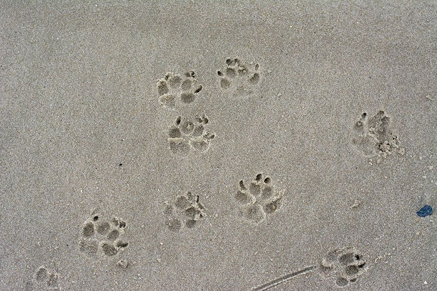 Dog paw prints on the Cape May beach.