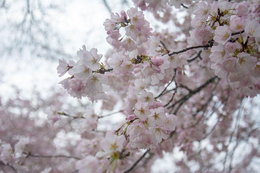 A close up of Washington, DC cherry blossoms.