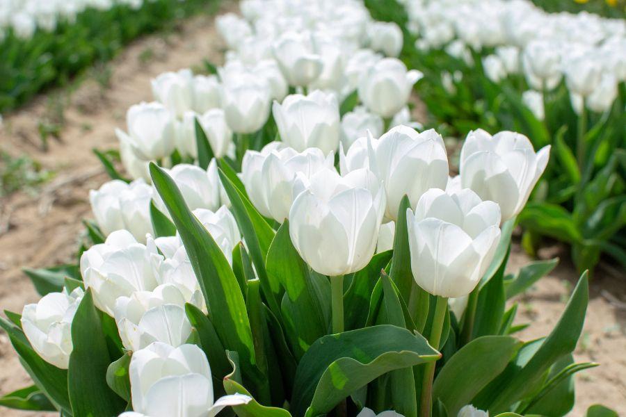 White tulips in the sun.