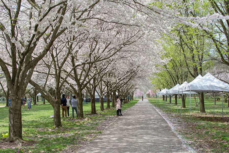 People picnic and enjoy the cherry blossoms in Philadelphia.