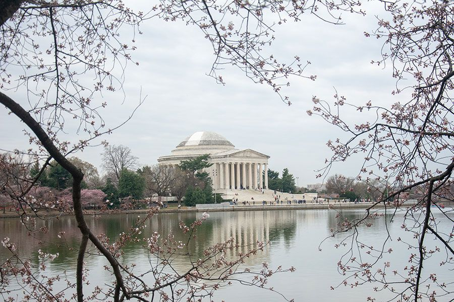 Washington DC cherry blossoms frame a view of the Jefferson Memorial.