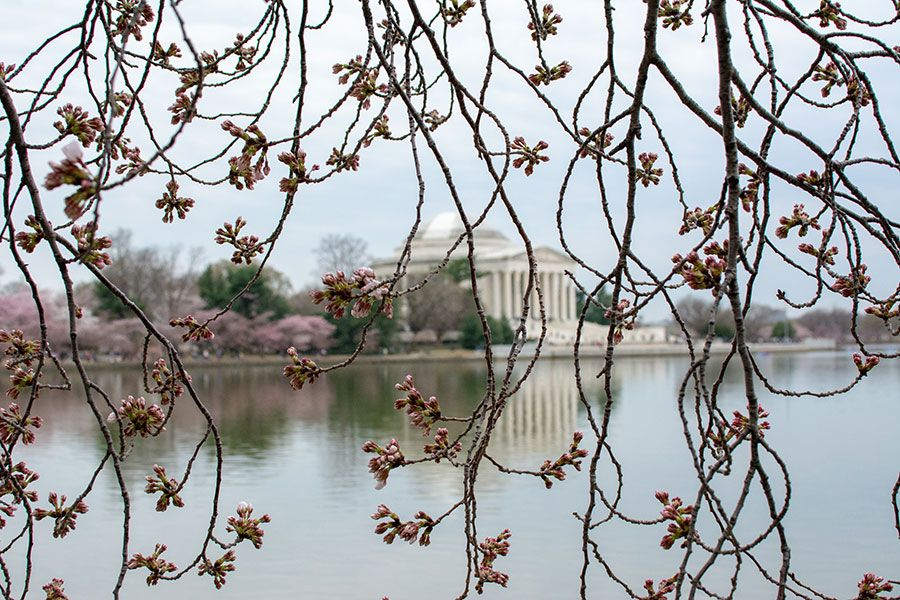 A view of the Jefferson Memorial across the Tidal Basin through a wall of Washington, DC cherry blossoms.