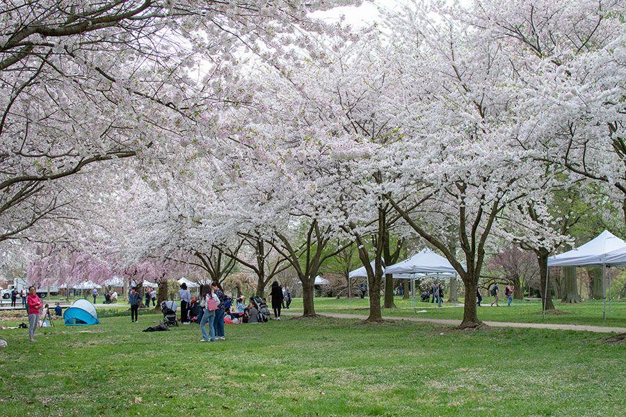 Flowering cherry trees in Philadelphia's Fairmount Park.