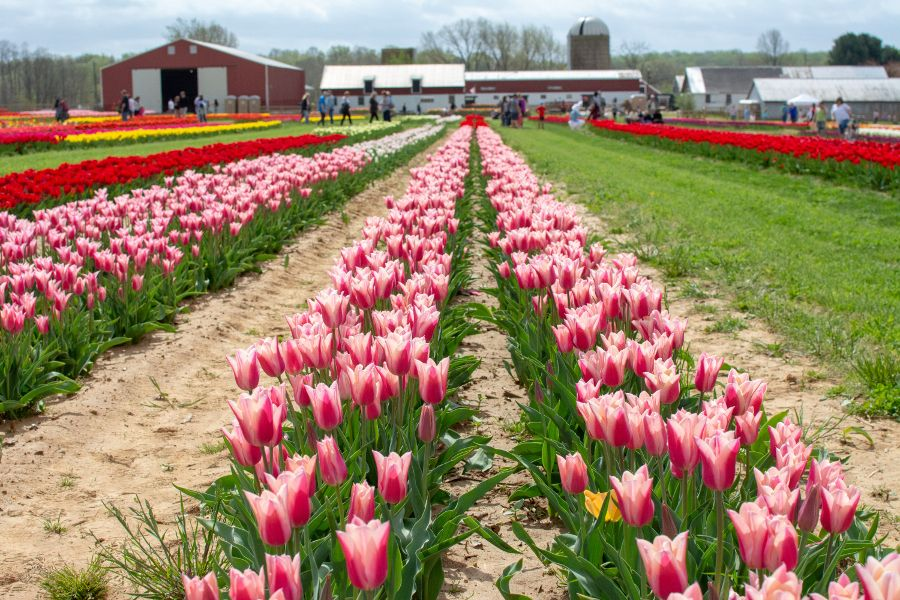 A field of pink tulips stands before a barn.