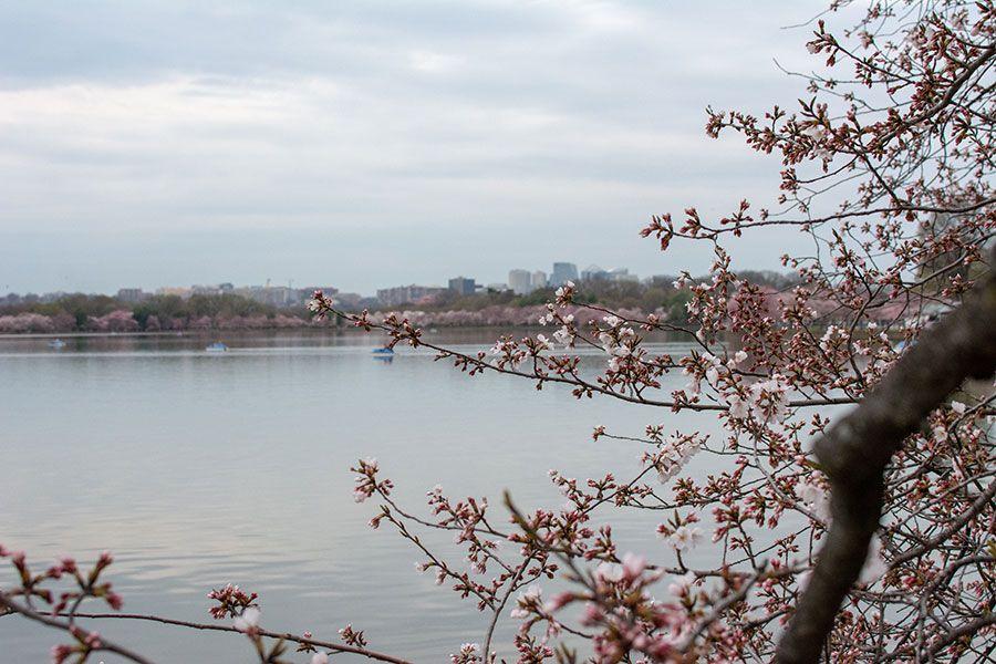 Cherry trees ring the Tidal Basin in Washington, DC.