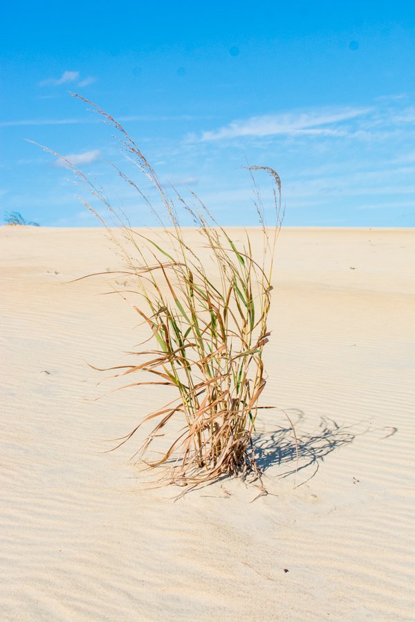 A tuft of American Beach Grass growing in the sand.