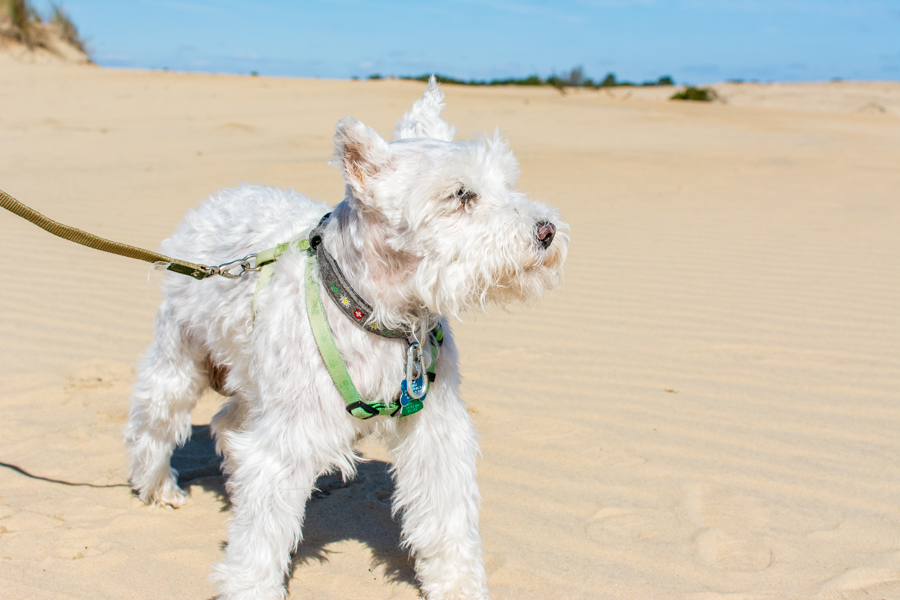 Jockey's Ridge is very dog-friendly.