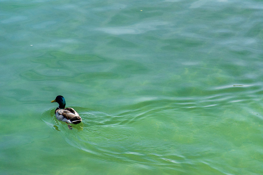 A duck goes for a swim in the Chiemsee lake.