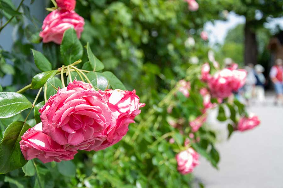 Close up of roses on the Fraueninsel or Frauenchiemsee.