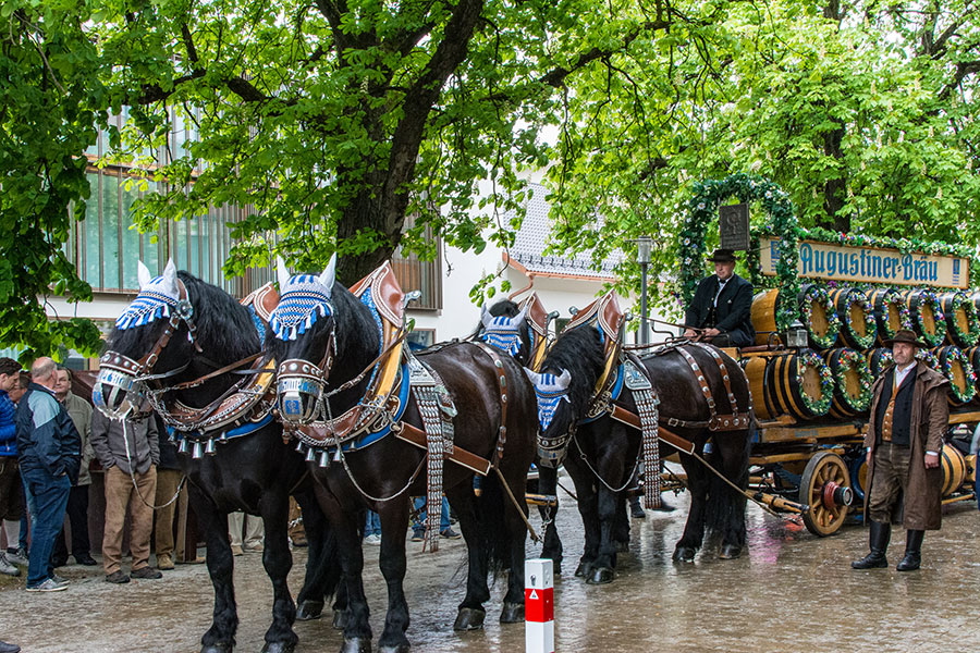 Horses pull the Augustiner cart to start one of the beer festivals in Munich.