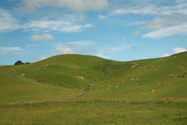 Nouvelle Zélande vert et moutons