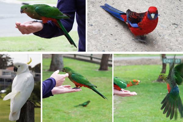 Perroquets Australie