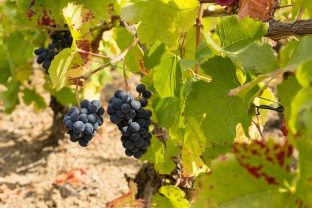 Domaine viticole Champagne Dallacourt