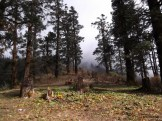 les pins du Langtang