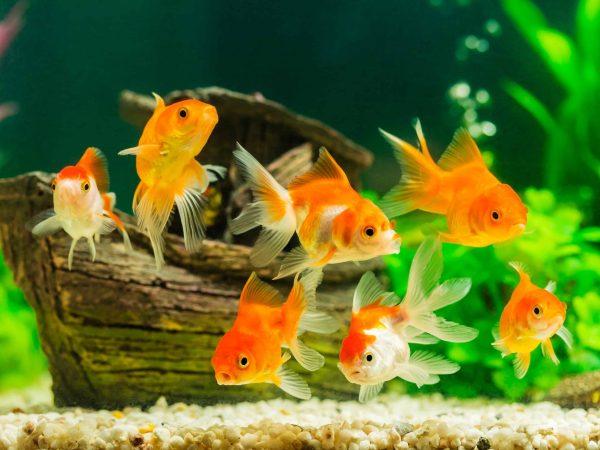 Acquario con pesci rossi