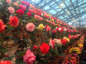 An array of huge begonias planted one per pot staring at the visitors from all directions