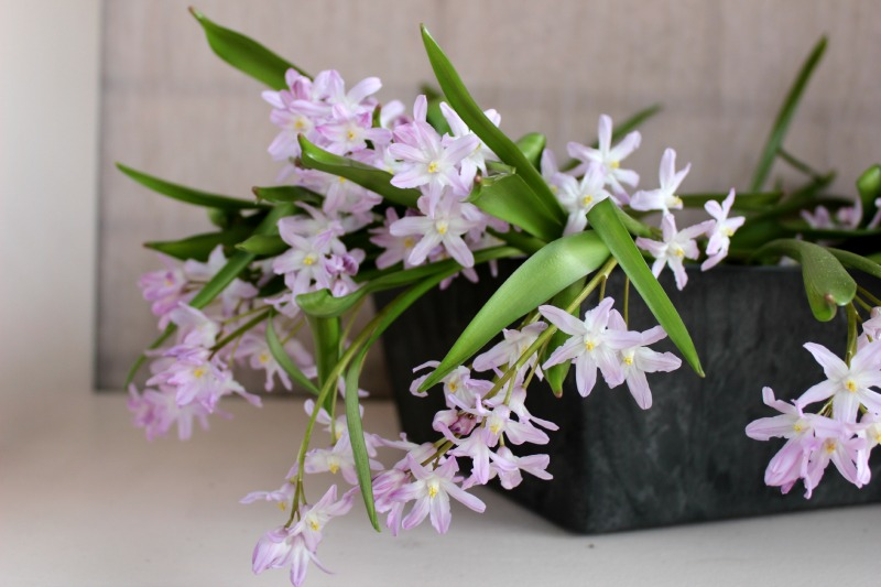 Keukenhof - Paarse bloem in pot