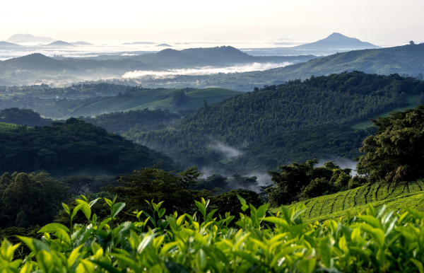 Aberfoyle Tea Estate in the Eastern Highlands is one of the places that receive a lot of Relief rainfall. Image Credit Buckinghambirding.