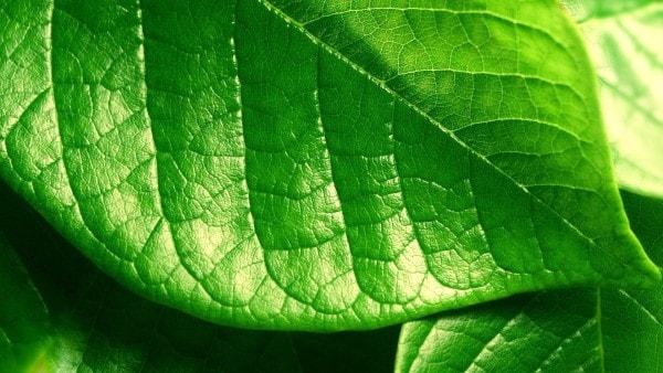A green leaf. Image credit wallconvert.com