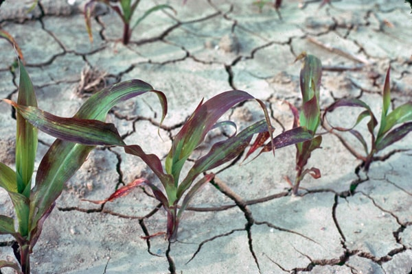 Phosphorus Deficiency. Image credit iastate.edu