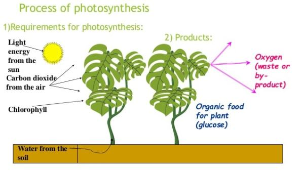 Diagram Showing Process Of Photosynthesis With Plant And Manual Guide