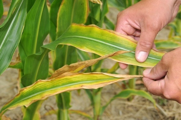 Pottasium deficiency in maize. Image credit thompsonslimited.com
