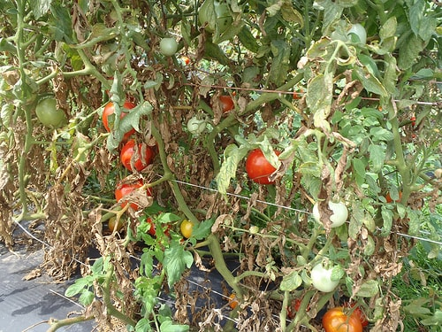 Tomato plant with red mite. Image credit thedemogadern.org