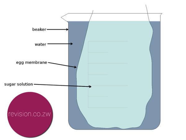 The level of water inside the membrane rises.