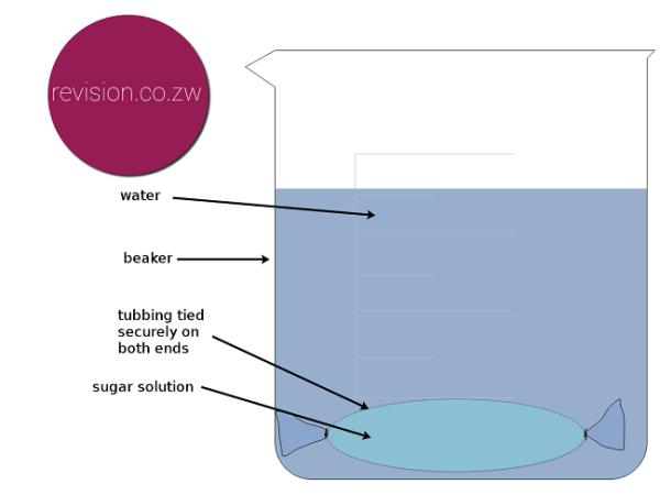Using visking tubing to test molecule movement.