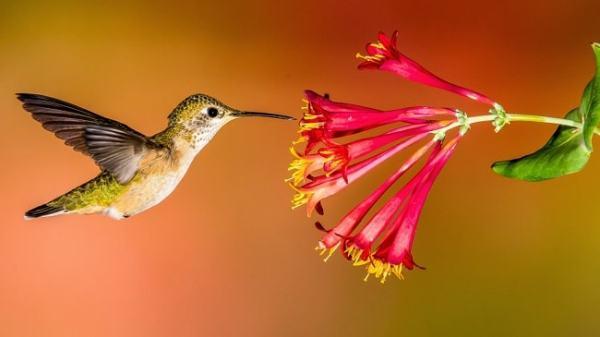 A bird pollinating a flower. Image credit gilligalloubird.com