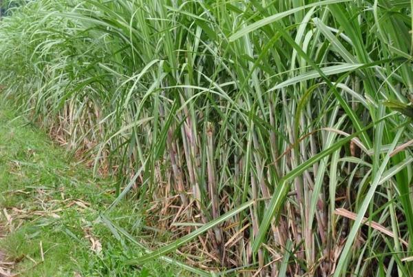 Sugarcane field. Image credit gov.ph