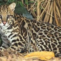 Animais da fauna brasileira, saiba o nome de alguns