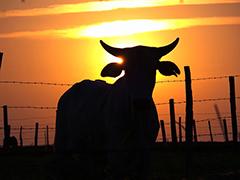 A agricultura animal tem emissões de gases superiores a todo o setor de transportes - Imagem: Domínio Público