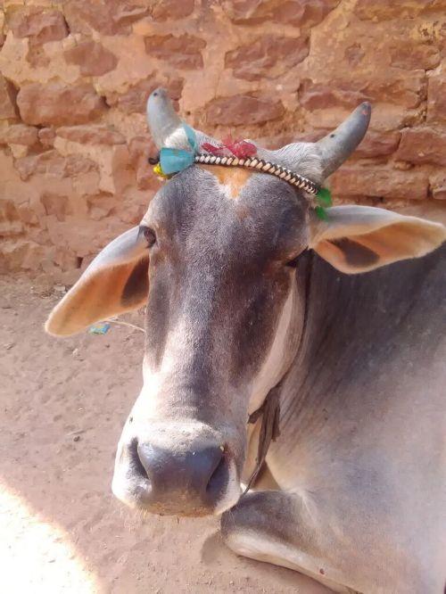 Vaca com adornos multicolores (Muchkund)