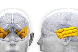 lóbulos temporales y la audición